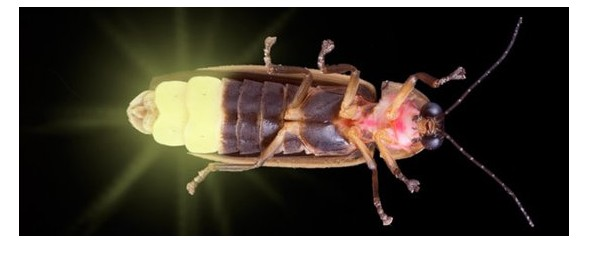 south korean scientists mimick firefly lantern for led lighting
