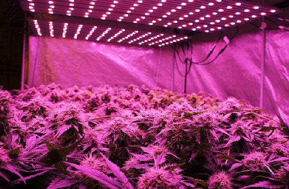White Paper Illumitex Advantages In Cannabis Cultivation